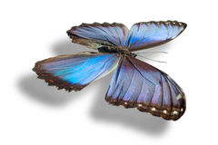 Butterfly isolated on white. Butterfly (Morpho peleides) isolated on white background. Clipping path included Stock Image