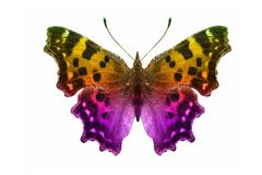 Butterfly isolated on white. multicolor insect. tropical animal. template for design royalty free stock photography