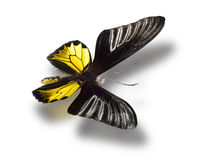 Butterfly isolated on white. Royalty Free Stock Image