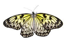 Butterfly isolated Stock Image