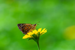 Butterfly(Isoteinon lamprospilus) Royalty Free Stock Images