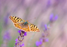 Butterfly Issoria lathonia. Butterfly on a Lavender Flower Royalty Free Stock Photography