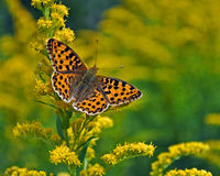 Butterfly Issoria lathonia, Queen of Spain Fritillary. On a yellow flower Stock Image