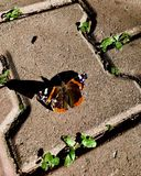 Butterfly and it's shadow royalty free stock photography