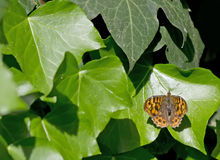 Butterfly and ivy Royalty Free Stock Photography