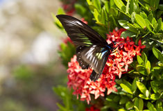 Butterfly on Ixora Flower Stock Photos