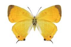Butterfly Japonica lutea dubatolovi Royalty Free Stock Photo