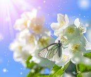 Butterfly on Jasmine Stock Photography