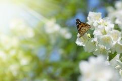 Butterfly on Jasmine Stock Photo