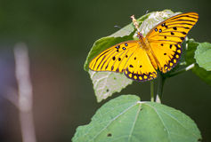 Butterfly.jpg. Closeup of butterfly on a leaf Royalty Free Stock Photography