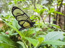 Butterfly in the jungle of equador Royalty Free Stock Photo