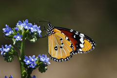 Butterfly at Kirstenbosch Royalty Free Stock Photo