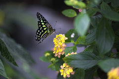 Butterfly kisses. Green butterfly on a yellow and orange flower Stock Photos