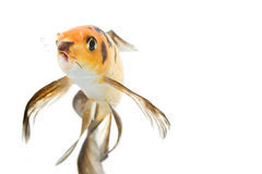 Butterfly Koi Fish. (Cyprinus carpio) on white background Royalty Free Stock Photos