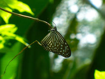 Butterfly. In the Kuala Lumpur tropical gardens in Malaysia Stock Photography