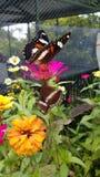 Butterfly. Kupu dan kepompong di atas bunga Royalty Free Stock Images