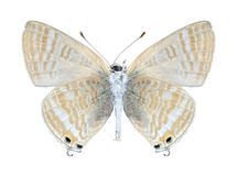 Butterfly Lampides boeticus (female) (underside) Royalty Free Stock Image