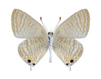 Butterfly Lampides boeticus (male) (underside) Royalty Free Stock Photography