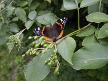 Butterfly land on leaf and open wings. Black and orange butterfly landed on fresh green leaf, staying opened wings stock images