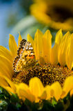 Butterfly landed on the sunflower Royalty Free Stock Images