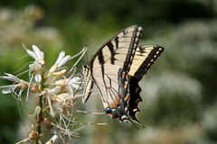 Butterfly Landing. On Flower royalty free stock photo