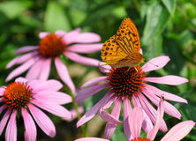 Butterfly. Landing on a flower Royalty Free Stock Photography