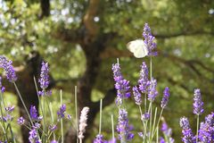 Butterfly Landing on Lavender Flower royalty free stock image