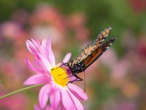 Butterfly landing on pink chrysanthemums Royalty Free Stock Image