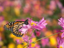 Profile of a beautiful butterfly on a pink Chrysanthemum flower stock photo