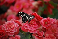 Black and White Butterfly landing on Pink Flowers royalty free stock images