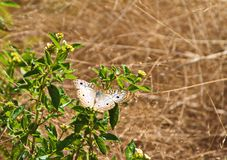 Butterfly Lands on Flowers in a Meadow. Beautiful butterfly spreading it& x27;s wings and lands on some flowers in a field on a sunny afternoon day Stock Photos