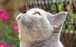 Butterfly lands on nose of cat. Photo showing a tender moment when a summer butterfly lands gently on the nose of a british shorthair cat stock image