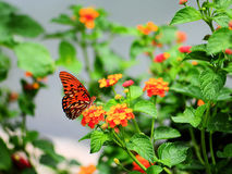 Butterfly on Lantana. Butterfly drinking from a Lantana flower cluster in a South Florida park Royalty Free Stock Photo