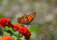 Butterfly on lantana. A gulf fritillary (Agraulis vanillae) butterfly feeds on red lantana (Lantana camara Royalty Free Stock Images