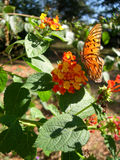 Butterfly on Lantana Royalty Free Stock Photos