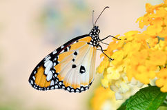 Butterfly on Lantana camara Royalty Free Stock Photo