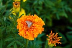 Butterfly on Lantana Camara flowers. Royalty Free Stock Photo