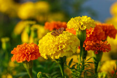 Butterfly on Lantana Camara flowers. Royalty Free Stock Image