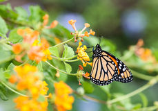 Butterfly on Lantana Flower Royalty Free Stock Photos