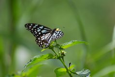 Butterfly on a Flower. Blue Tiger Tirumala limniace Butterfly on lantan plant royalty free stock photography
