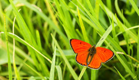 Butterfly Large copper on green grass Stock Photos