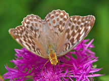 Butterfly large forest fritillary - female on a flower of cornflower meadow. Butterfly large forest fritillary (Argynnis paphia) - female on a flower of royalty free stock photo