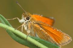Butterfly Large Skipper (Ochlodes sylvanus). Stock Image