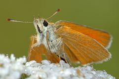 Butterfly Large Skipper (Ochlodes sylvanus). Royalty Free Stock Image