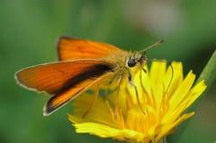 Butterfly Large Skipper (Ochlodes sylvanus). Small bright orange butterfly Large Skipper (Ochlodes sylvanus Stock Image