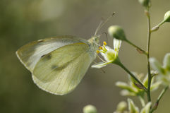 Butterfly Large White Royalty Free Stock Photo