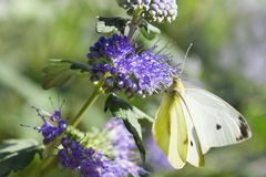 Butterfly Large white on Caryopteris or Bluebeard. Butterfly Large white in summer on Caryopteris clandonensis Heavenly Blue also called Bluebeard Stock Photos