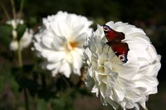 Butterfly on a large white flower. Multicolored butterfly on a large white flower Stock Image