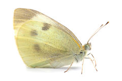 Butterfly - Large White (Pieris brassicae) on white Stock Photo