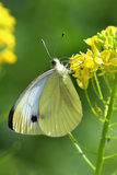 Butterfly - Large White (pieris brassicae) on yellow flowers Stock Photography